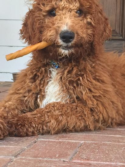Dixie M Doodles Labradoodle And Goldendoodle Puppy Breeder In
